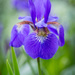 Siberian Iris by lindasees
