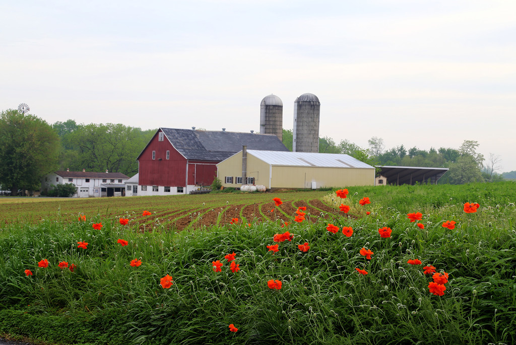 Lancaster Farm Poppies by pdulis