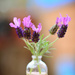 French Lavender 2 by gailmmeek