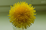 19th May 2015 - Dandelion