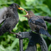 Blackbirds on a plastic water pump by richardcreese
