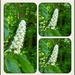 Horse chestnut flower  by beryl