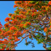 Royal Poinciana by danette
