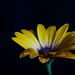 Daisy by salza
