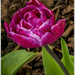 Tulip Lines by pcoulson