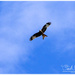 Red Kite by carolmw