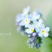 Forget-me-not on 365 Project