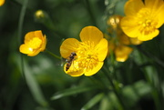15th May 2012 - Buttercups