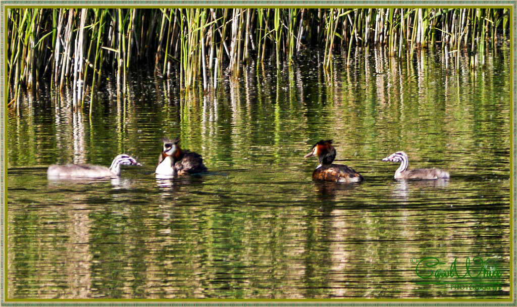 Great Crested Grebes And Their Young by carolmw