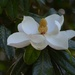 Magnolia bloom (Magnolia grandiflora).  These magnificent blooms are covering our magnolia trees this week. by congaree