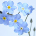 Forget-me-not by richardcreese
