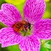 Busy bee photo bombs pink geranium by pistache