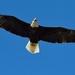 Bald eagle by mjalkotzy