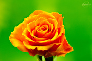 25th May 2015 - Orange rose