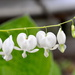 I love bleeding hearts, especially white ones. by sailingmusic