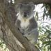 howdy dewy by koalagardens