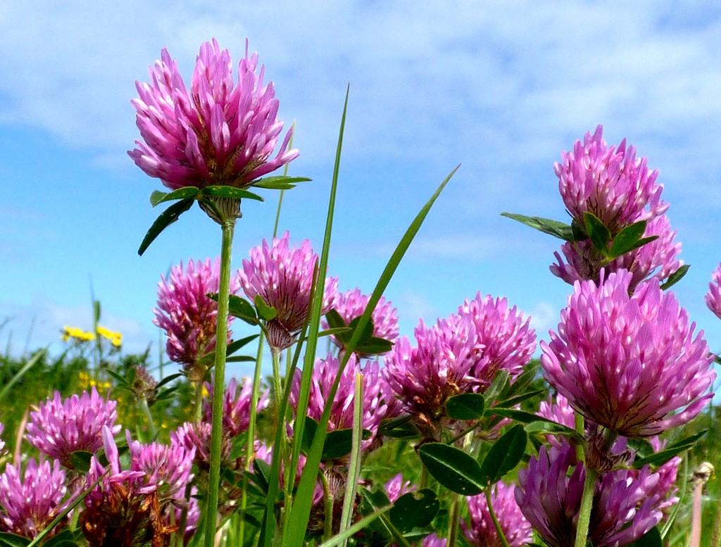 Clover in the meadow by julienne1