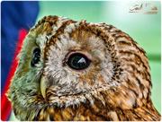 26th May 2015 - Tawny Owl