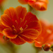Closeup of my Lewisia Eldora by elisasaeter