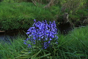 26th May 2015 - Bluebells