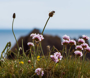 26th May 2015 - 26th  May 2015 -Sea Thrift on the cliff