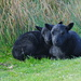 BLACK LAMBS, ORONSAY by markp