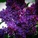 Lilacs by dianen