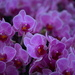 Orchids - a plethora of