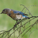 Bluebird - but Which?