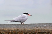 27th May 2015 - Common Tern