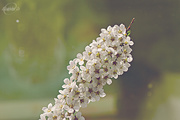 27th May 2015 - Spiraea