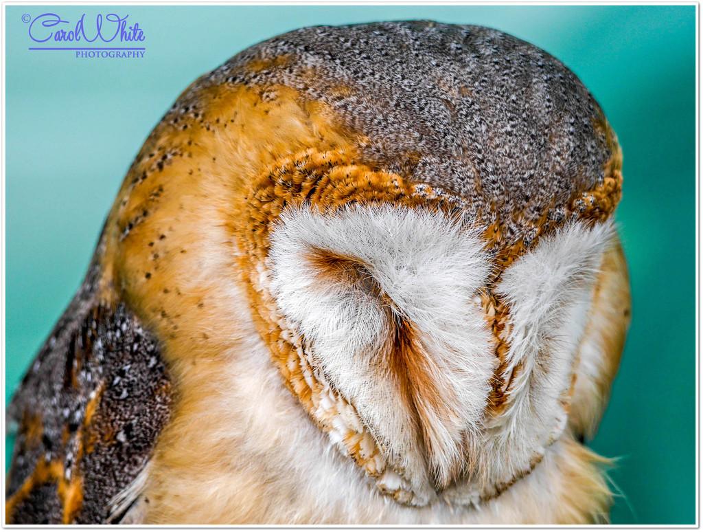 Sleepy Barn Owl by carolmw