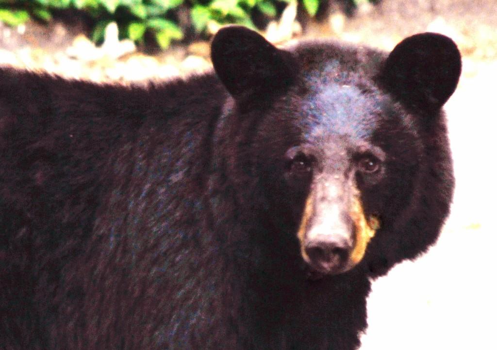 Black Bear  by mzzhope