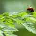 Not a Ladybug