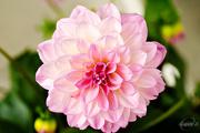 28th May 2015 - Pink Dahlia