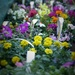 Colourful annuals by darlenet