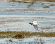 22nd Apr 2015 - Cattle Egret