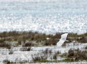 23rd Apr 2015 - Cattle Egret 2