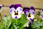 30th May 2015 - Viola tricolor 1