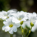Little White Flowers... by vignouse