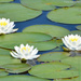 Water lilies by mccarth1