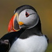 PUFFIN, ISLE OF LUNGA by markp