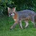 Fox sighting by mccarth1