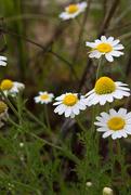 31st May 2015 - Daisies at Lake James State Park