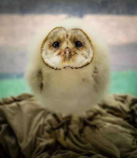 Baby Barn Owl by rosiekerr