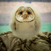 Baby Barn Owl on 365 Project