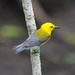 Prothonotary Warbler, Four Holes Swamp and Beidler Forest, Dorchester County, SC by congaree