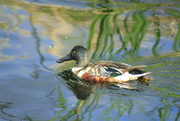 2nd Jun 2015 - Northern Shoveler
