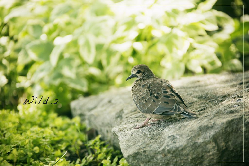Little Dove by lyndemc