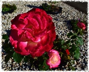 3rd Jun 2015 - Love is like a red, red rose that's newly sprung in June